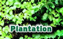 Plantation >>>
